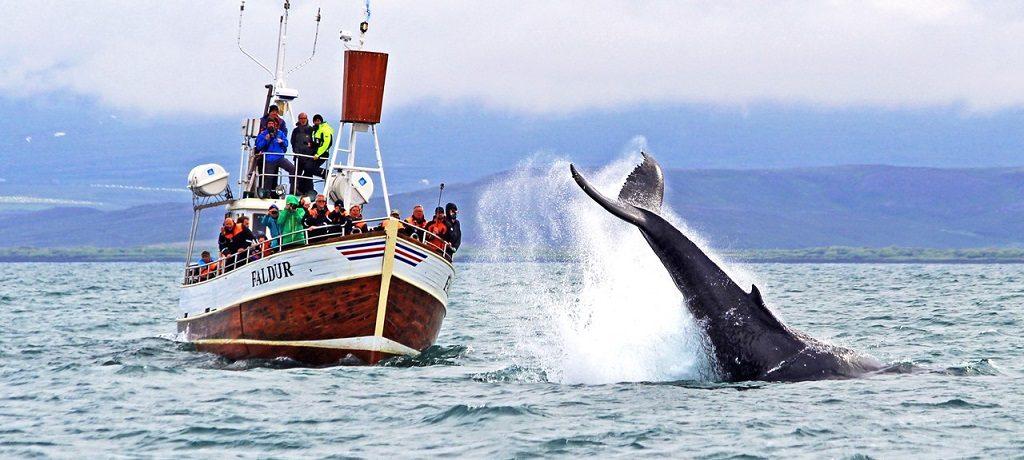 Walvissen spotten IJsland