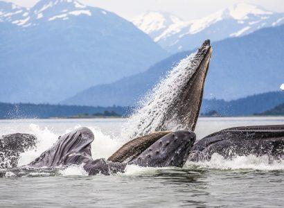Walvissen spotten in Alaska