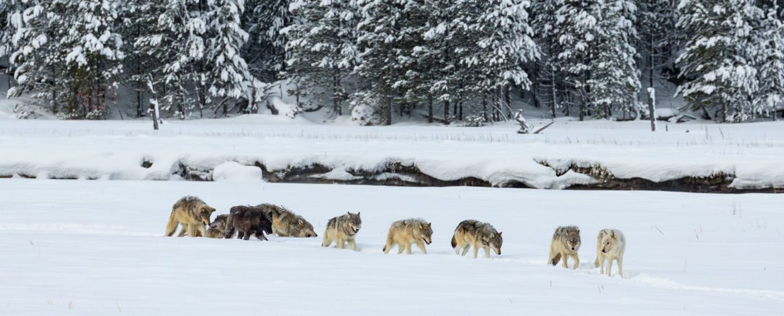 Wolven in Yellowstone