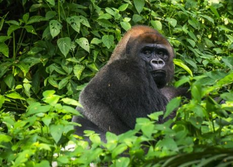Yatouga Gorilla Research Camp