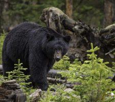 Zwarte-beer-3-e1482160988336