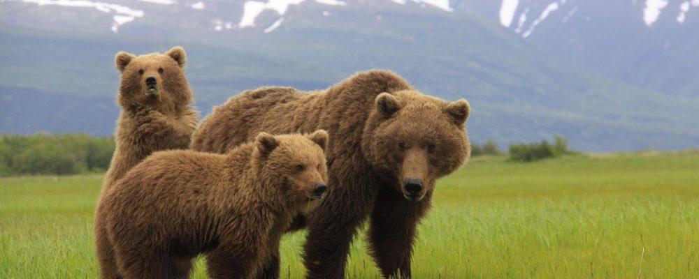 grizzly beren van kodiak tot katmai