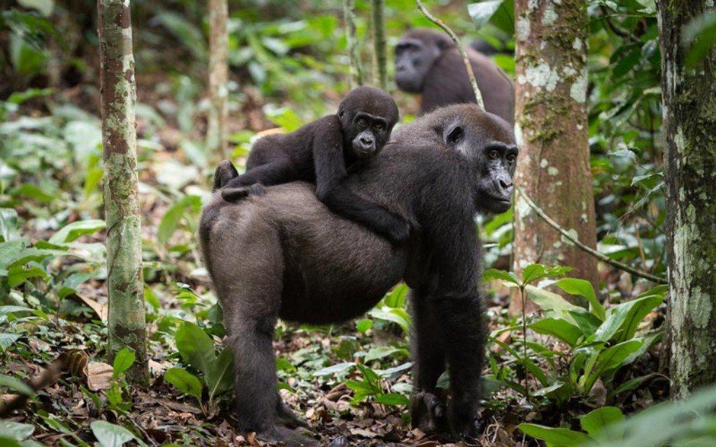 odzala laagland gorilla
