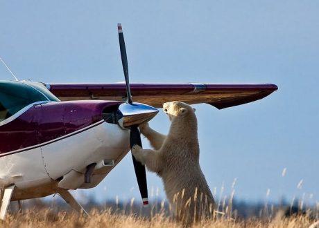 polar-bear-plane-propeller
