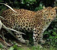 Aziatisch luipaard