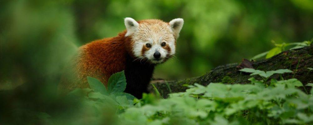 Kleine pandabeer china