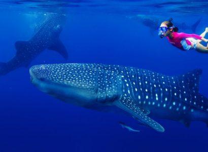 Walvishaai Malediven