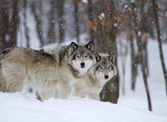 Wolven Inspiratie, Siberian Tiger Reserve, Rusland