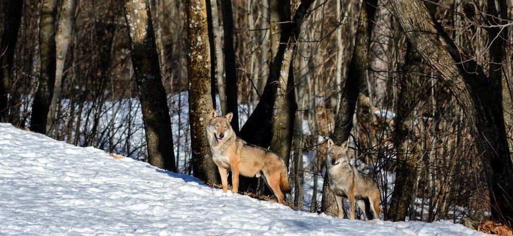 Wolf, Abruzzen