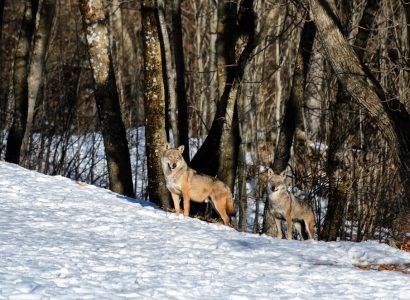 wolven in de Abruzzen, Italië