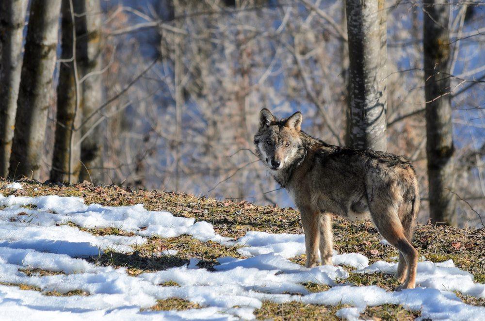 Wolf reizen, Abruzzen National Park, Italië