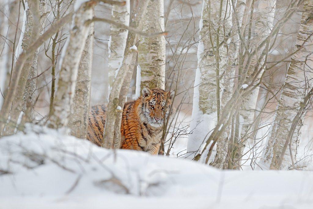Siberian Tiger Reserve