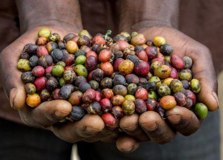 Coffee Plantage - Tanzania