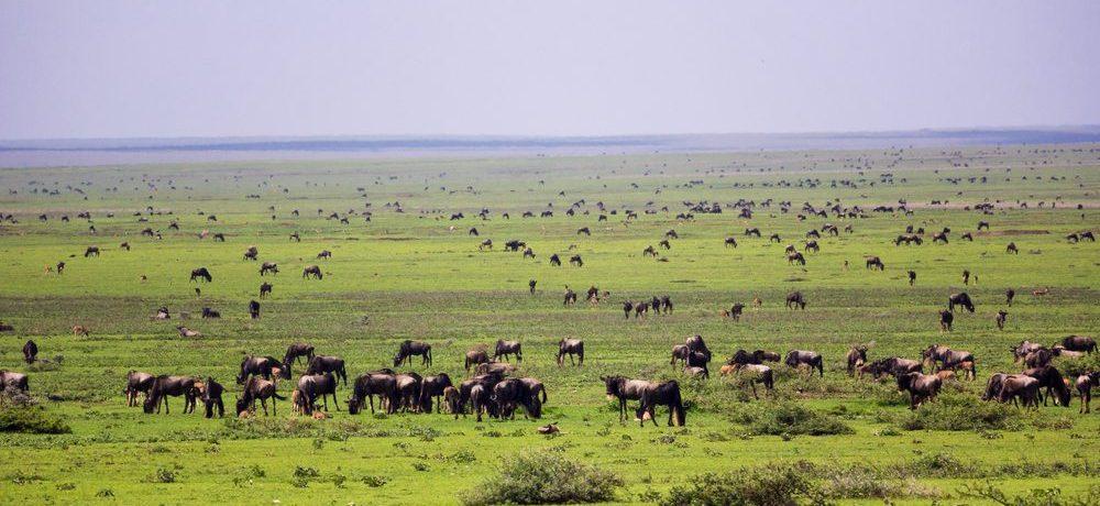 Serengeti zuid, Wildebeest migratie reis zuid