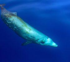 Spitssnuit Dolfijn